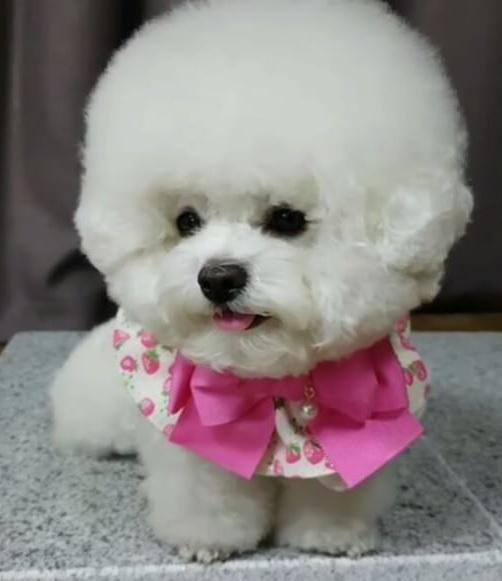 This ball of fluff is Korea's pup fashionista
